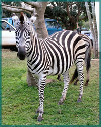 Read about Old Boy - a magnificent zebra stallion that was snared and killed